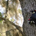 Acorn Woodpecker c. Bruce Lyon