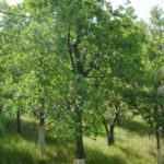 Blue Oak restoration research at the Sierra Foothill Research and Extension Center