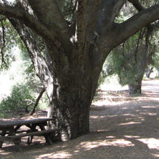 cultural value of oaks image