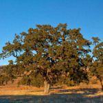 Valley oak savanna is a major habitat type at Sedgwick Reserve.