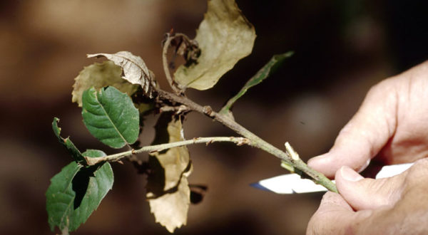 sudden oak death (Phytophthora ramorum) J.O'Brien