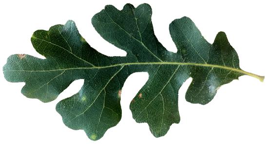 Oak Tree Species Id Amp Ecology Caloaks