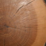 356-year-old Blue Oak Round-SLO County