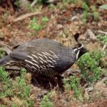 California Quail - Lee Karney, USFWS