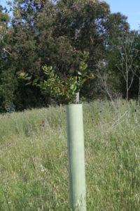 Oak Regeneration