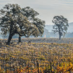 Oak trees in vineyards maintain wildlife diversity and habitat continuity